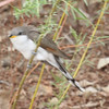 Yellow-billed cuckoo, Bosque del Apache, May 5, 2013
