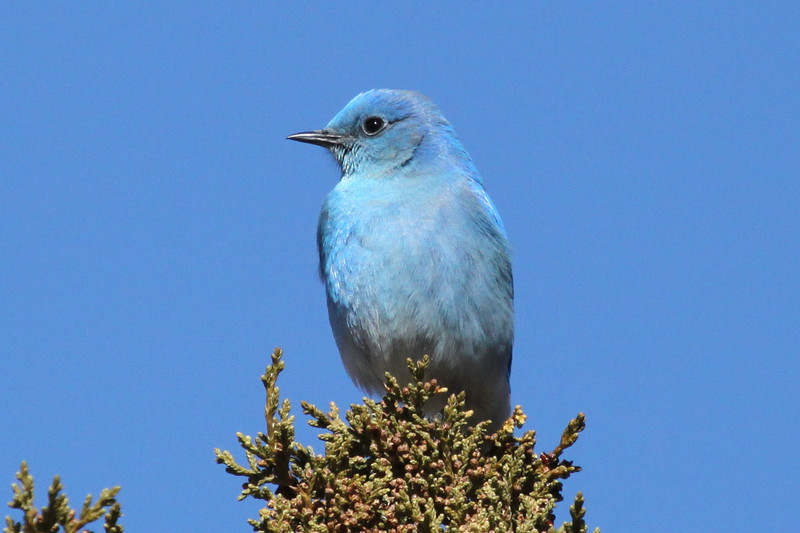 Mountain Bluebird at Bandelier Nat. Mon. 2-18-2013. There were about 55 of them and 35 Westerns. We normally see just a few mountains and the rest Westerns.