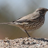Sage thrasher through a chain link fence. North Mesa stables, Los Alamos, NM, 4-22-13