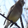Cedar Waxwing in residential yard near water and crabapples. Waiting for a chance between evening grosbeaks. 4-15-13