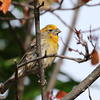 Yellow House Finch m
