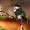 Anna's Hummingbird  j