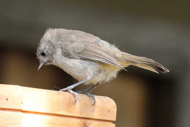 Oak Titmouse j