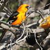 Altimira oriole, adult