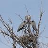 Pairing Herons