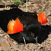 Red-Winged Blackbird, m