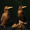 Neo-Tropic Cormorant