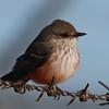 Vermillion Flycatcher f