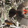 Vermillion Flycatcher, m f