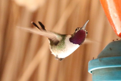 Mexican Sheartail