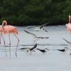 American Flamingos, Black Skimmers
