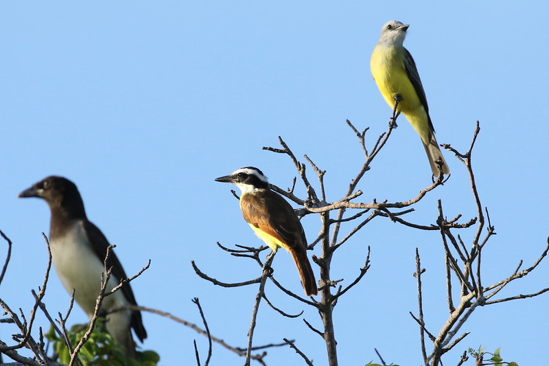 Brown Jay, Great Kiskidee, Couch's or Tropical Kingbird
