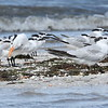 Royal Terns, Sandwich Terns, Laughing Gull