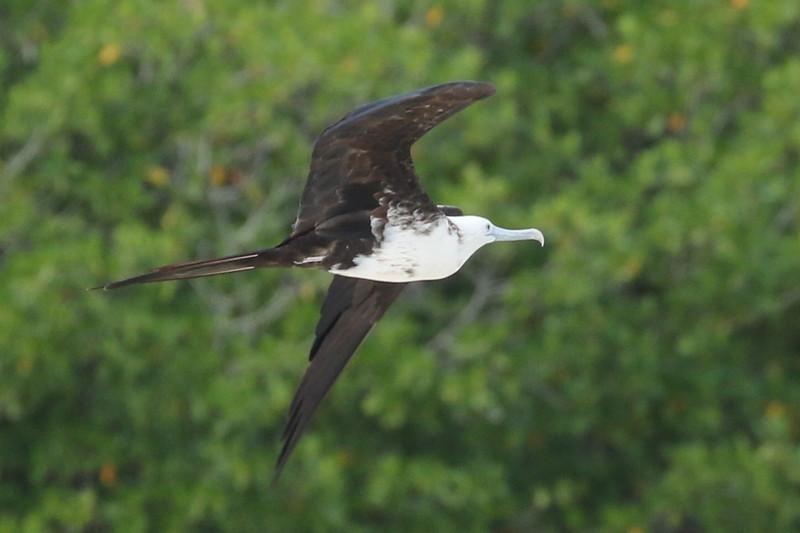 Magnificent Frigatebird