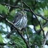 Feruginous Pygmy Owl