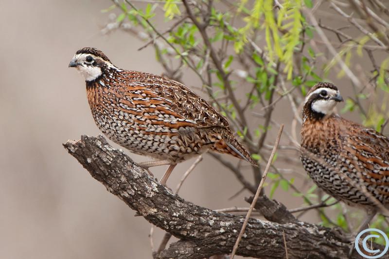 RGV Birds