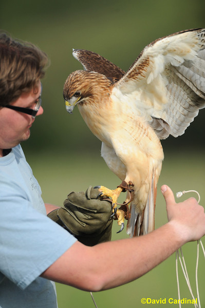 Red-Tailed Hawk with Last Chance Forever Raptors