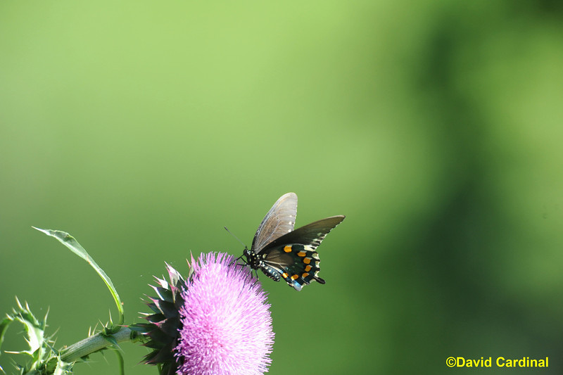 Pipevine Swallowtail Butterfly South Texas Hill Country