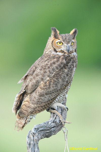 Great Horned Owl Last Chance Forever Raptors Texas Hill Country