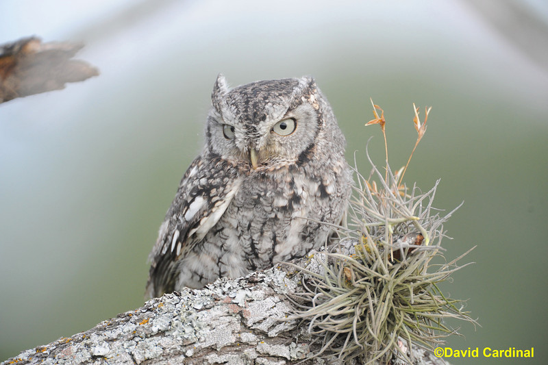Eastern Screech Owl with Last Chance Forever Raptors in Texas Hill Country