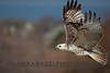 Krider Red Tailed Hawk :