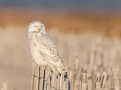 Snowy Owl (2 of 2 seen at this location)