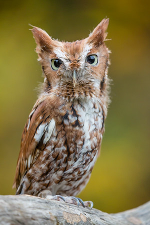 Eastern Screech Owl - Red Morph
