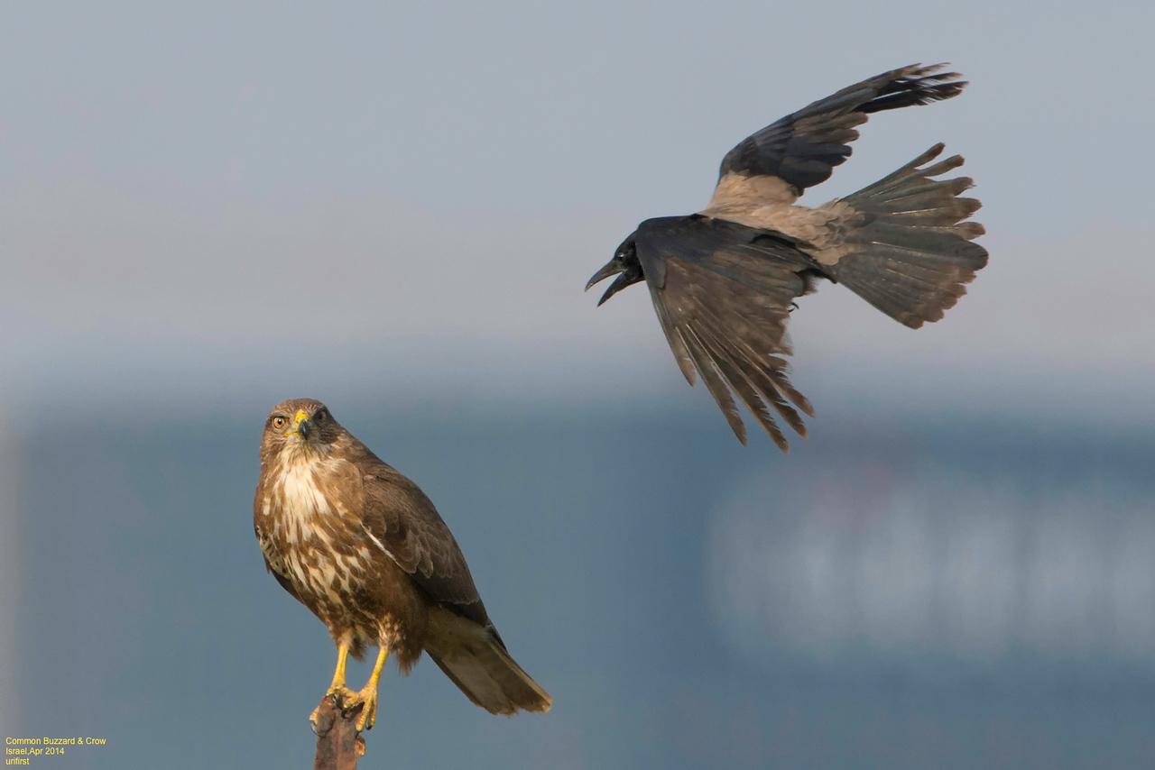 Common Buzzard & Crow