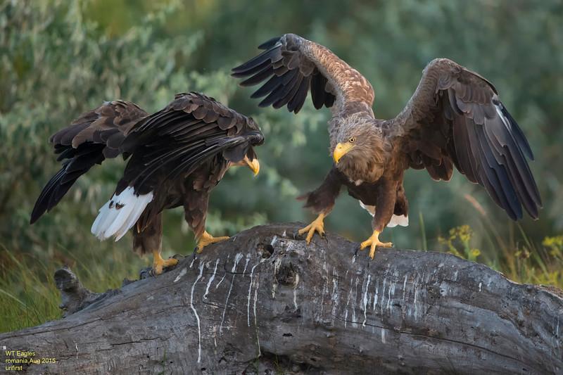 WT Eagles