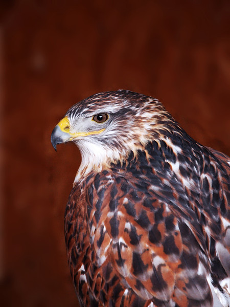 ferruginous eagle (hawk)
