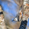 White breasted nuthatch (female)