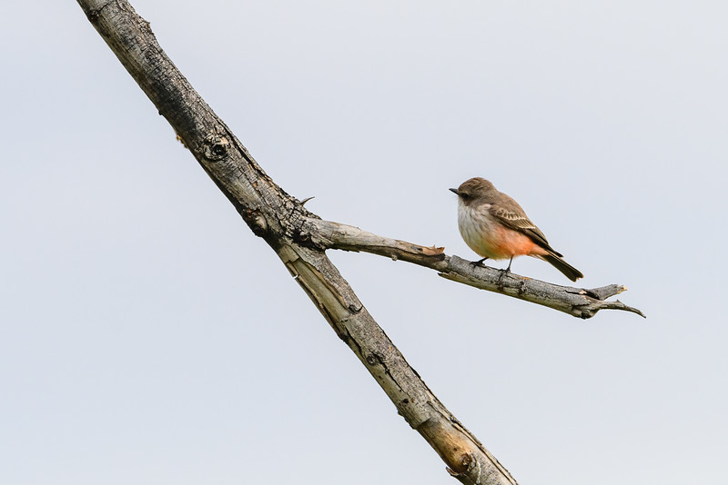 Vermillion Flycatcher (adult female)