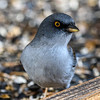 Yellw-eyed junco