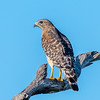 Red-shoulder hawk