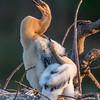 Anhinga nestlings