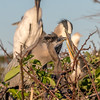 Great blue heron with nestlings