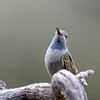 Rivoli's hummingibird