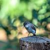 Eastern Wood Pee-wee