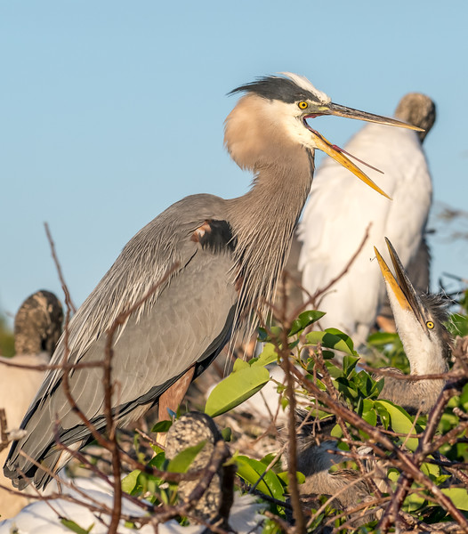 Great Blue Heron with nestling