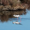 Blackwing Stilt