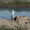 Andouin's gull