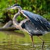 Great blue heron, Huntley Meadows