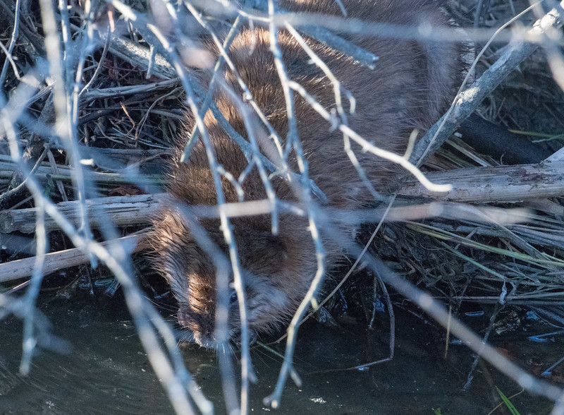 Beaver getting ready to go home