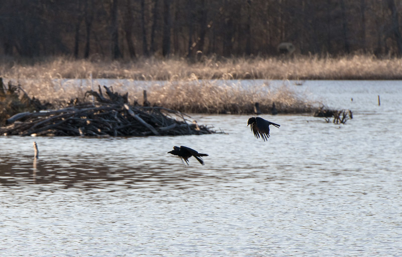 Boat-tailed grackles passing a beaver dam