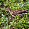 solitary sandpiper, Huntley Meadows