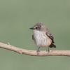 Female Vermillion Flycatcher