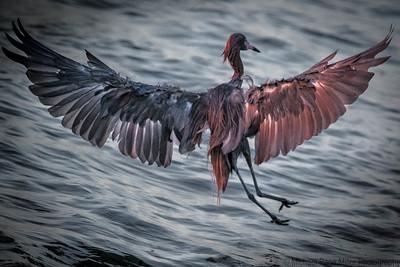 Night Heron Coming Down