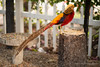 Chinese Pheasant-076