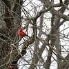 Treed cardinal. Guntersville, Alabama