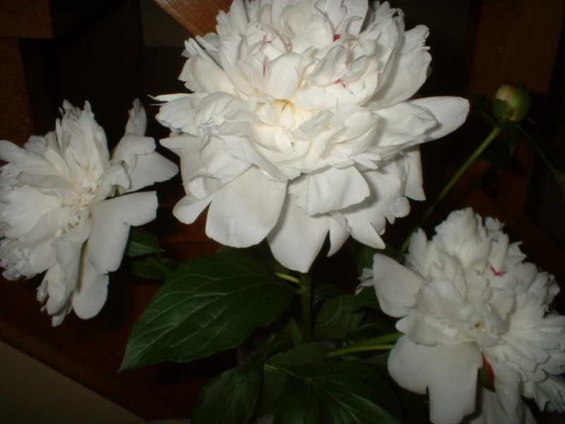 These peonies came from Chelsea's great-great-grandmother's (Grandma Maude's) garden.  Mom had started a cutting in her back yard and brought these for each of the generations at the shower: Dad, me & Chelsea.